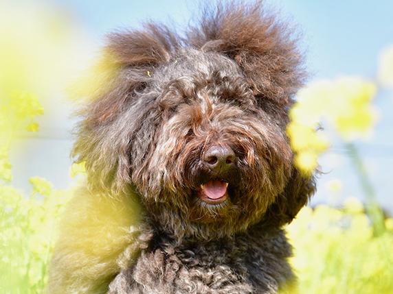 菜の花畑を背景にこげ茶色のラブラドゥードゥル犬