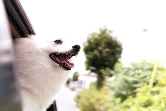 車の窓から顔を出す白いスピッツ犬