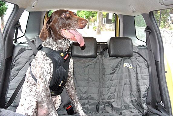 EZYDOGドライブハーネスをつけて車の後部座席に乗るジャーマンSポインター犬