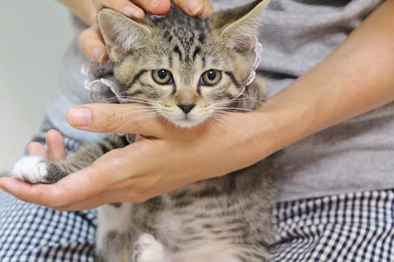 こちらを向いて抱えられる保護したキジトラ子猫