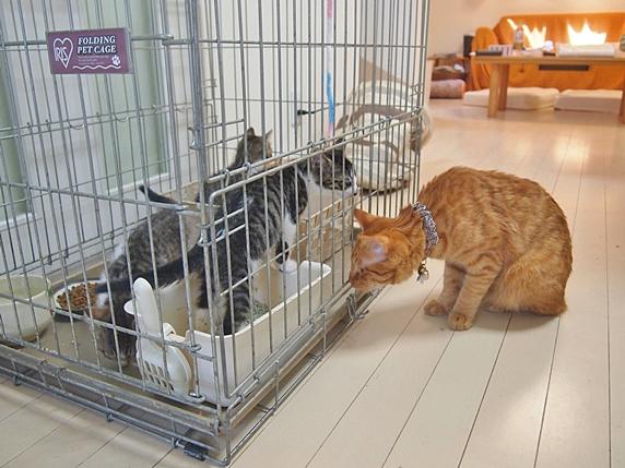 ケージ外からケージ内の保護子猫のにおいを嗅ぐ先住猫の茶トラ猫