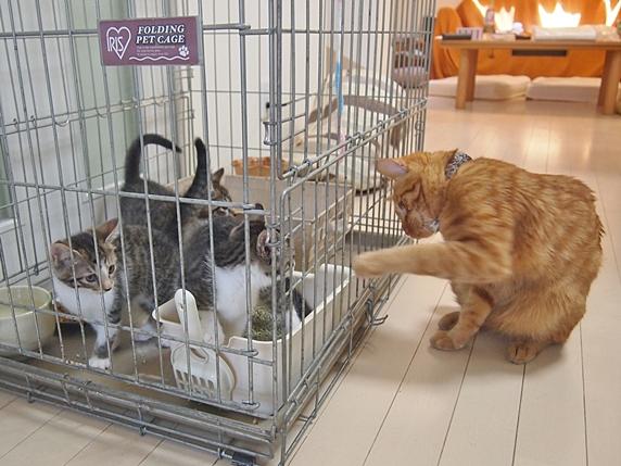 ケージ内の保護子猫にケージ外からちょっかいを出す先住猫の茶トラ猫