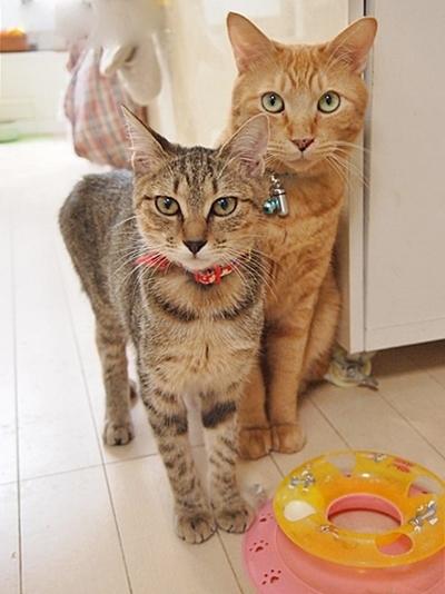 こちらを見る先住猫の茶トラ猫と保護した若いキジトラ猫