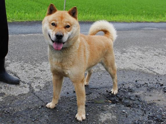 道路で立っている北海道犬