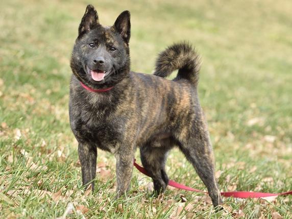 芝生の上で立ってこちらを向く甲斐犬