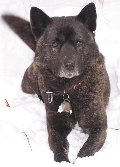 雪の中に伏せる山下山下國廣先生の愛犬の甲斐犬