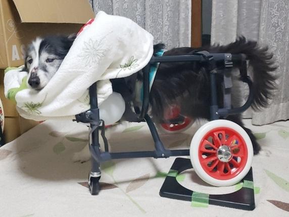 手作りの車椅子に乗るボーダーコリー