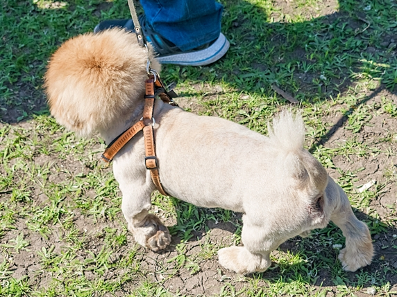 サマーカットされたペキニーズ犬