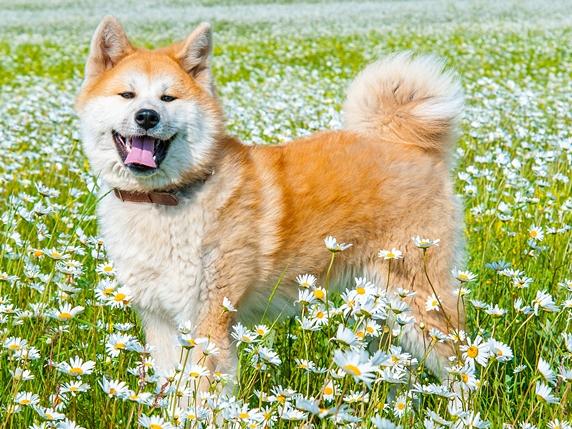 野原でこちらを向いて立つ秋田犬
