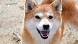 カメラ目線で笑顔の柴犬