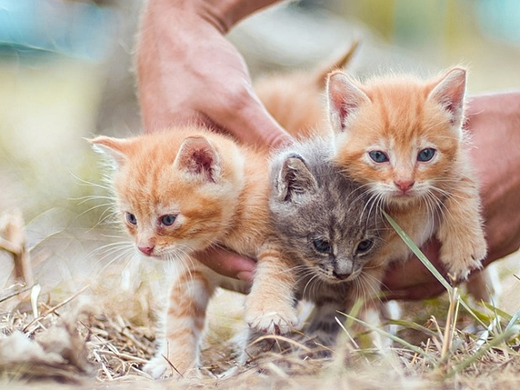枯れた野原にいる3匹の子猫を抱えようとしている