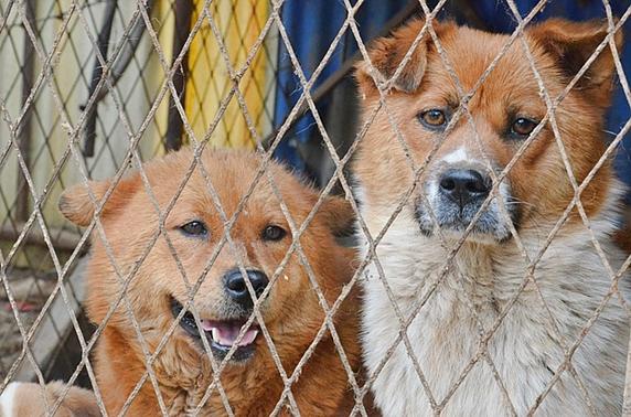 フェンスの中で悲し気な2匹の雑種犬