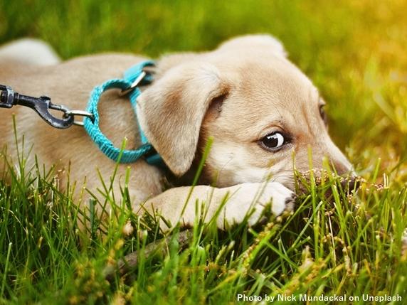 芝生の上で伏せる雑種の子犬