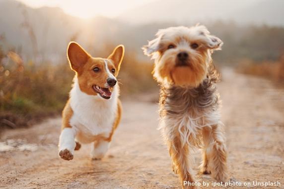 道を向こうから走ってくるコーギー犬とヨーキー