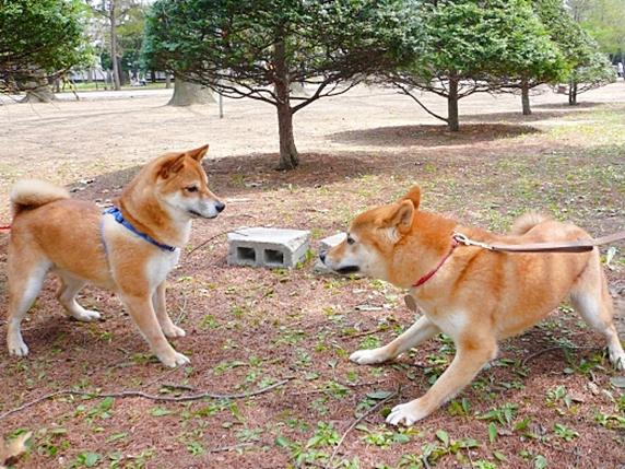 向かい合う2頭の柴犬