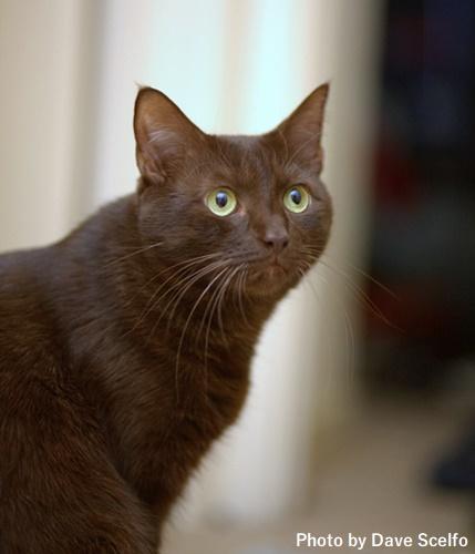 ハバナという品種の猫