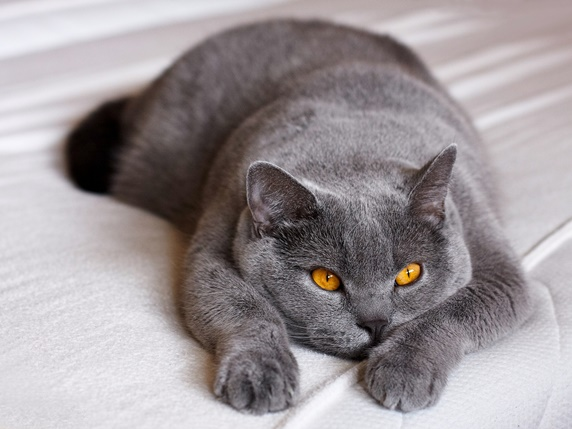 ダイリュートというグレー色の猫