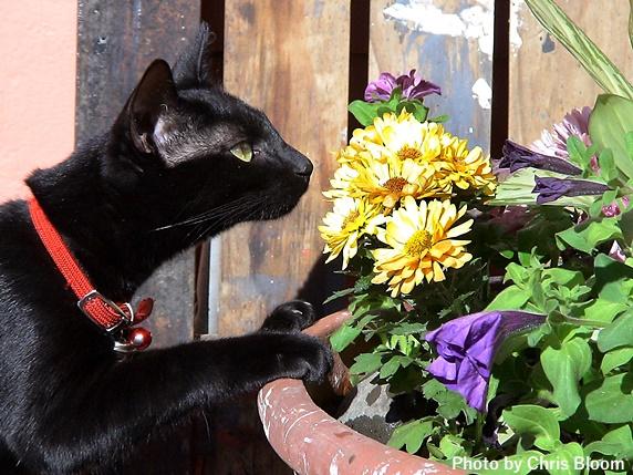 植木鉢に手をかける黒猫