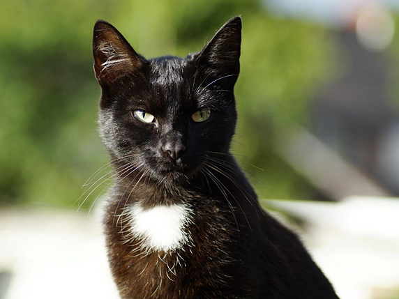 胸にエンゼルマーク(白色)が入っている黒猫