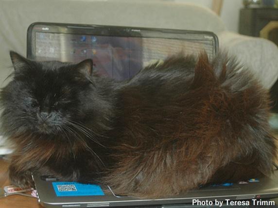 PCの上で寝る長毛の黒猫