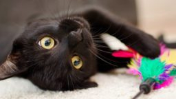 羽のおもちゃで遊ぶ黒猫
