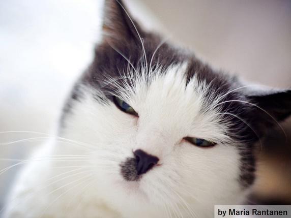 鼻と鼻の下に黒いブチ柄がある猫