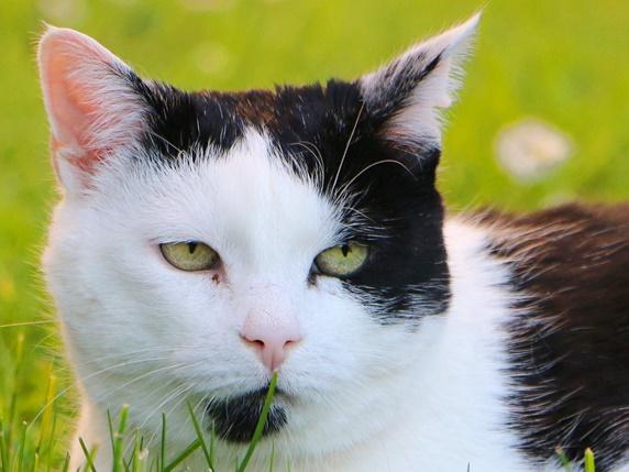 片方の目の側のみ黒色の猫