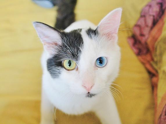 目がオッドアイの黒ブチ猫