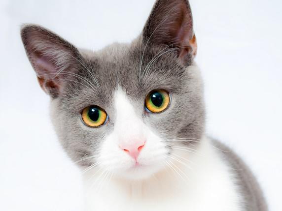グレーのハチワレ柄の猫