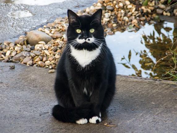 お座りしているタキシード柄の猫