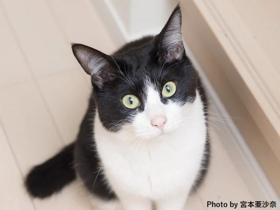 こちらを見上げるハチワレ柄の猫
