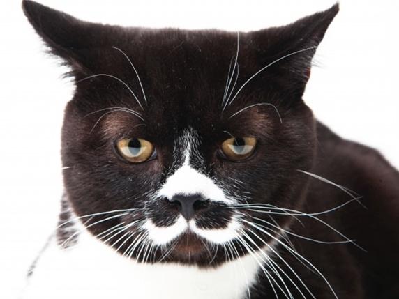 鼻の下に黒いブチがある猫