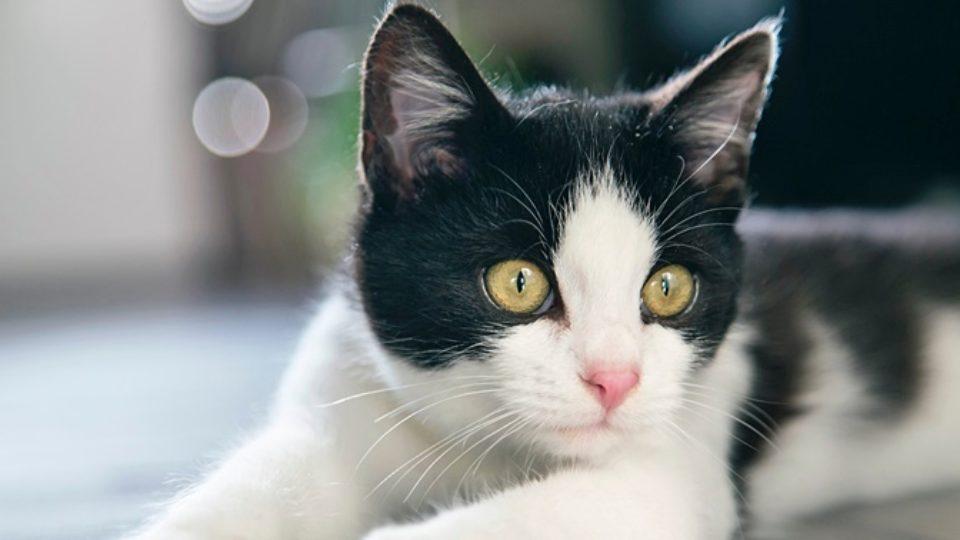 白黒猫は白が多いほど人懐こい!?白黒猫の性格や特徴