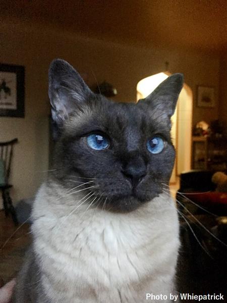 顔がこげ茶色で体の白い猫