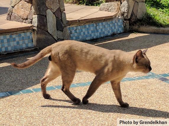 外を歩く薄い茶色の猫