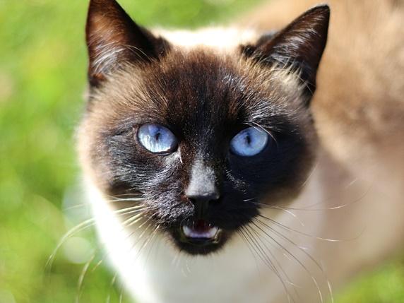 顔がこげ茶色で青い目の猫