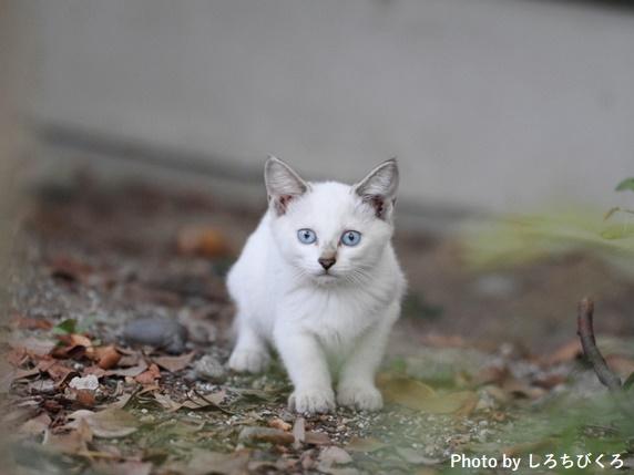 耳がグレーで体が白い子猫
