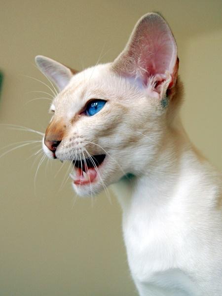 ないているシャム猫