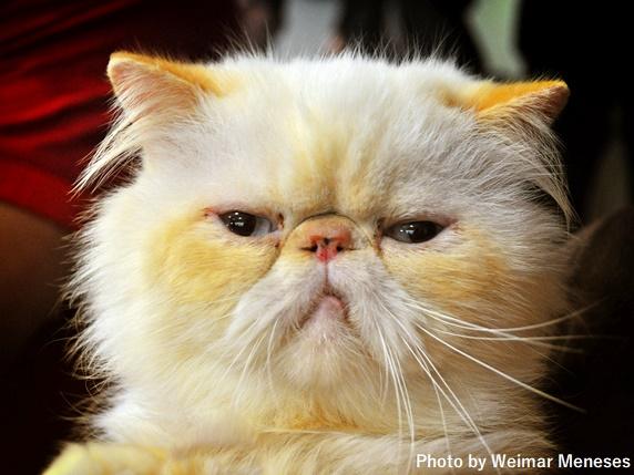 黄色のポインテッド柄の鼻のつぶれた猫