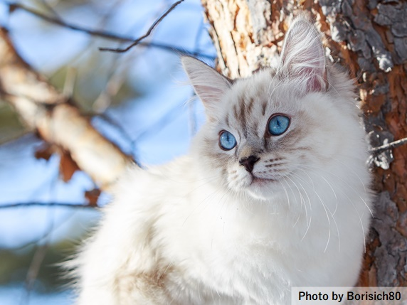 縞模様のポインテッドの猫