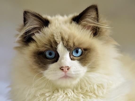 ポインテッドのハチワレ柄の猫