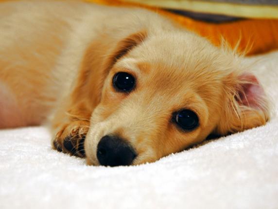 伏せてこちらを見るミニチュアダックスフンドの子犬