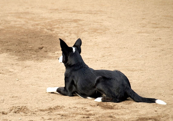 地面に腹部をつける、伏せをしている黒い犬