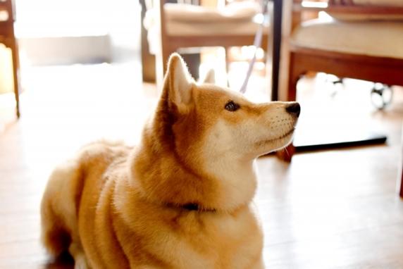 人の食事を足元で静かに待つ犬