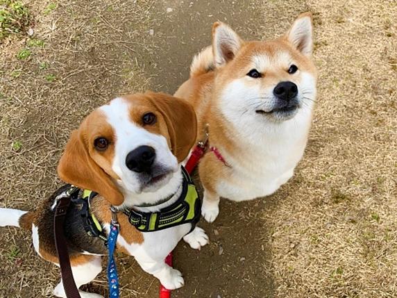 2頭並んで座って見上げるビーグル犬と柴犬