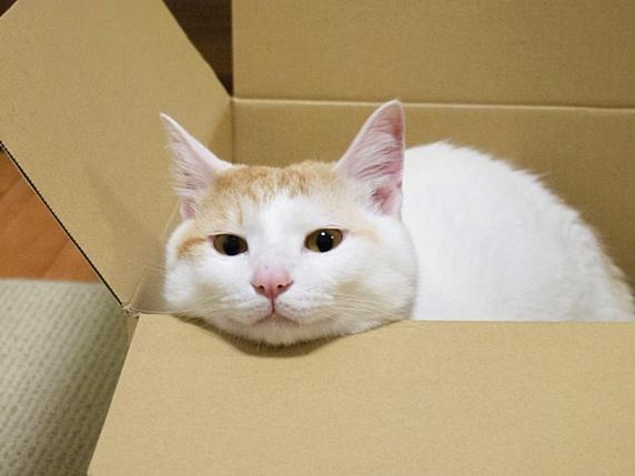 段ボールから顔を出す猫