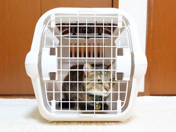 扉を閉めたキャリーの中で心地よく過ごす猫