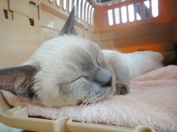 キャリーの中でスヤスヤ安心して眠る猫