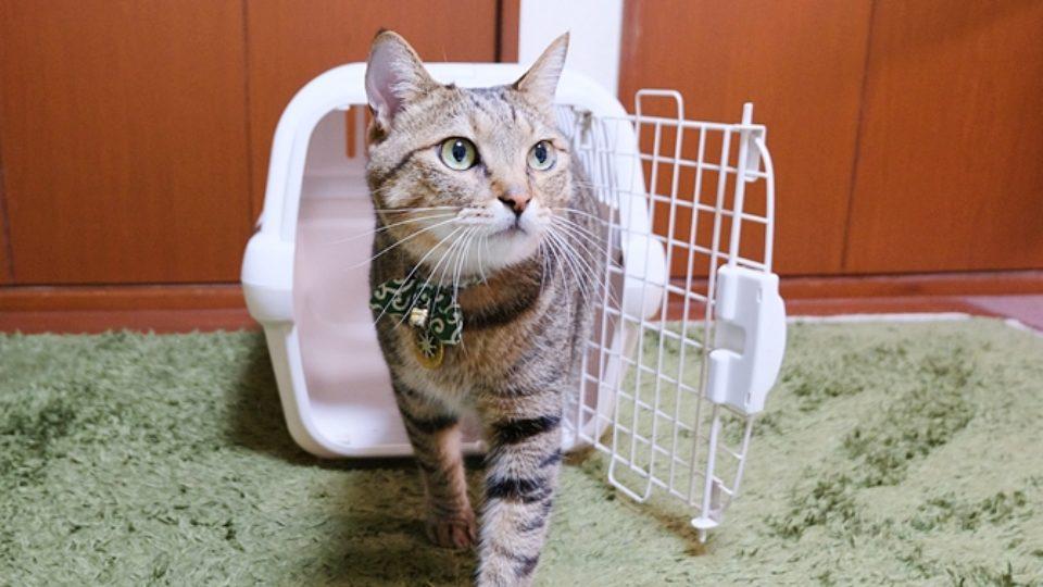 猫もキャリートレーニングを!通院や災害時に備えて。成猫からでも間に合います。