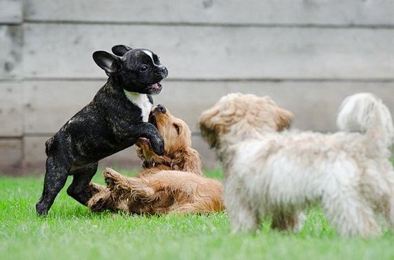 芝生でじゃれる3頭の子犬